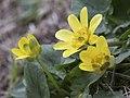 Caltha palustris - Marsh marigold 03.jpg