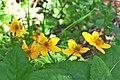 Caltha palustris ENBLA10.jpg