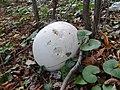 Calvatia gigantea DK19 (3).jpg