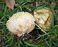 Calvatia utriformis possibly - Flickr - gailhampshire (1).jpg