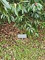 Camelia planted in memory of David Penhaligon.jpg