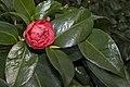 Camellia.japonica.cv.Anemoniflora.7165.jpg