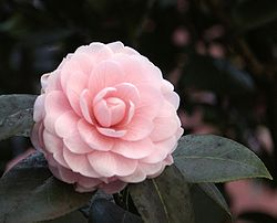 Camellia0068.jpg