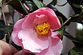 Camellia japonica Pink Icicle 11zz.jpg