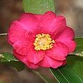Camellia sasanqua (flower).jpg