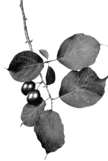Canada Plum fruiting spray 0 - Keeler.png