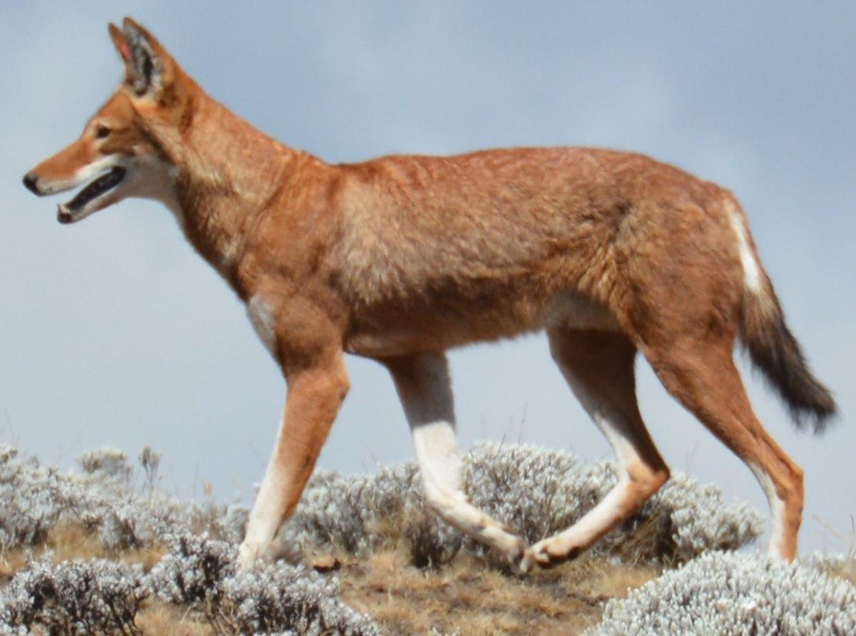 Äthiopischer Wolf – Wikipedia