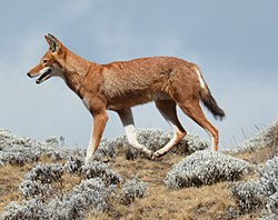 Canis simensis Bale Mountains National Park 8 cropped.jpg