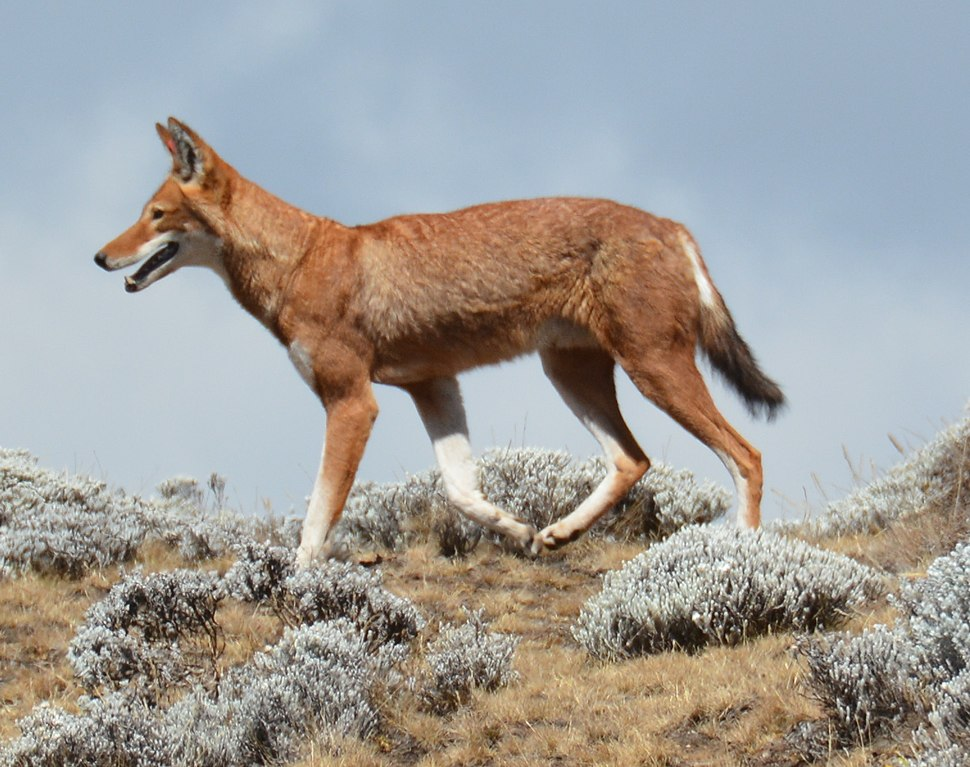 Canis simensis Bale Mountains National Park 8 cropped