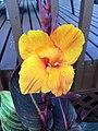 Canna Flower (38324320451).jpg