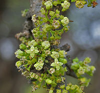 Canthium coromandelicum near Hyderabad W2 IMG 7607