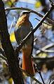 Cape Robin-Chat, Cossypha caffra, at Walter Sisulu National Botanical Garden (9648373984).jpg