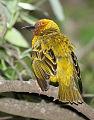 Cape Weaver, Ploceus capensis at Walter Sisulu National Botanical Garden (9953911866).jpg