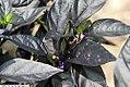 Capsicum annuum Black Pearl 1zz.jpg