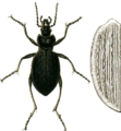 Carabus catenulatus with elytron Jacobson.png