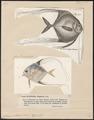Caranx ciliaris - 1700-1880 - Print - Iconographia Zoologica - Special Collections University of Amsterdam - UBA01 IZ13500399.tif