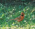 CardinalMale001.jpg