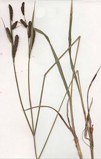 Carex acutiformis Herbar