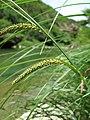 Carex acutiformis inflorescens (07).jpg