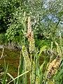 Carex acutiformis inflorescens (42).jpg