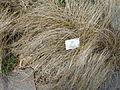 Carex dallii - Palmengarten Frankfurt - DSC01977.JPG