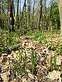 Carex michelii sl33.jpg
