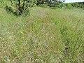 Carex praecox kz01.jpg