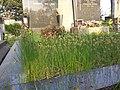 Carex praecox sl23.jpg