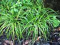 Carex wahuensis subsp. wahuensis (5187970610).jpg