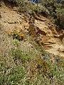 Carpobrotus chilensis (Molina) N.E.Br. (AM AK298323-2).jpg