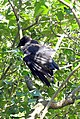 Carrion Crow (2703563257).jpg