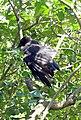 Carrion Crow (2703563257).jpg