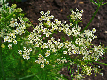 English: Carum carvi, Apiaceae, Caraway, Merid...