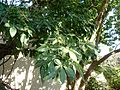 Casimiroa edulis, stam en lower, Voortrekkerbad.jpg