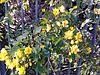 Cassia corymbosa.jpeg