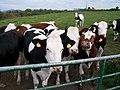 Cattle in a field alongside the Wateresk Road - geograph.org.uk - 1868482.jpg
