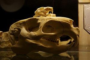 Caviidae - Guinea pig and capybara skull