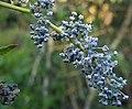 Ceanothus leucodermis 01.jpg