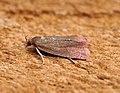 Celypha rosaceana (44023095335).jpg