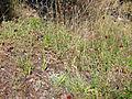 Centaurea cordubensis Habitat 2011-6-23 SierraMadrona.jpg