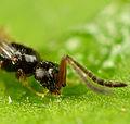 Ceraphonidae (2).jpg