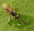 Ceraphonidae (3).jpg