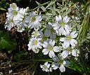 fleurs blanches du ceraiste cotonneux