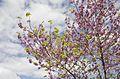 Cercis siliquastrum - Judas tree - Erguvan 02.jpg