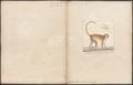 Cercopithecus ruber - 1700-1880 - Print - Iconographia Zoologica - Special Collections University of Amsterdam - UBA01 IZ19900093.tif