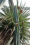 Cereus hexagonus 2