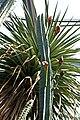 Cereus hexagonus 2.jpg