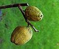 Chaenomeles x superba 'nicolina' (chinese kwee). Locatie. Tuinreservaat Jonkervallei 03.JPG