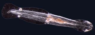 Chaetognatha phylum of marine worms