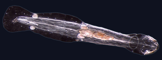 Chaetognatha - Spadella cephaloptera